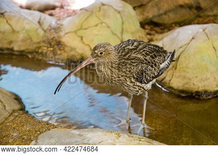 A Large Curlew (latin: Numenius Arquata) With A Long Beak Stands In The Water Against The Background