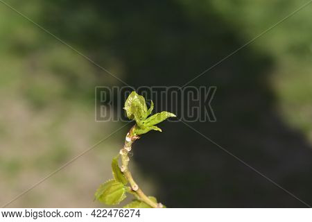 Lombardy Poplar Branch With New Leaves - Latin Name - Populus  Nigraa Var. Italica