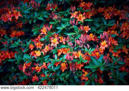 Orange Azalea Flowers in the springtime