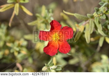 Rock Rose Fire Dragon - Latin Name - Helianthemum Fire Dragon