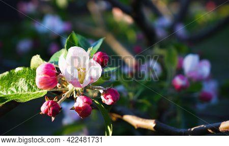 Blooming Apple Tree. Apple-tree Flowers In Sunbeams Close-up.