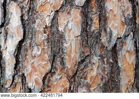 Pine Tree Bark Texture. Natural Background. Brown Tree Bark