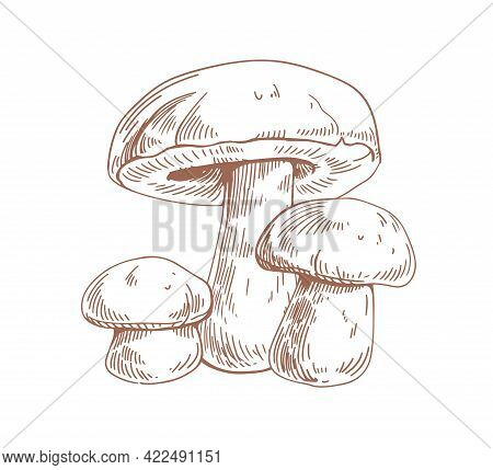 Outlined Boletus Mushrooms In Vintage Style. Porcini Fungi, Sketch Composition. Engraving Drawing Of