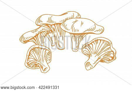 Outlined Chanterelles Or Cantharellus Mushrooms, Drawn In Vintage Style. Engraving Drawing Of Edible
