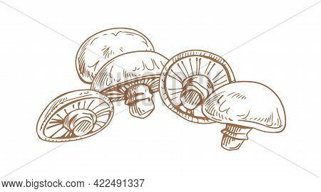 Outlined Drawing Of Champignons Portobello. Engraving Of Edible Portobella Mushrooms. Organic Natura