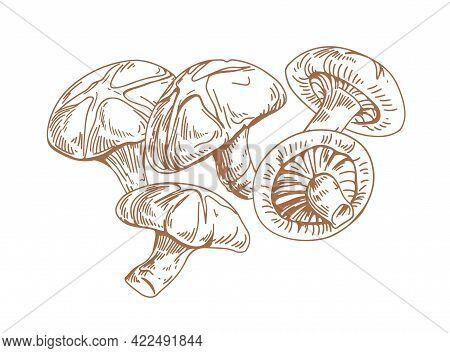 Outlined Asian Shiitake Mushrooms Or Fungi. Vintage Botanical Drawing Of Forest Edible Fungus. Organ