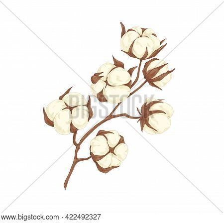 Dried Branch Of Cotton Flower Bolls. Field Plant With Soft Fluffy Balls. Botanical Floral Drawing In
