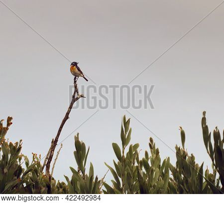 Small African stonechat standing on a high twig against the grey sky with bushes framing the bottom of the picture. Landscape photography of bird in coastal area with desaturated colors and empty space for text