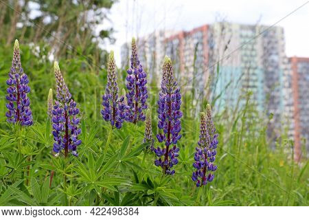 View To The Residential Buildings From The Hill, Overgrown With Grass And Purple Flowers Of Lupin. C