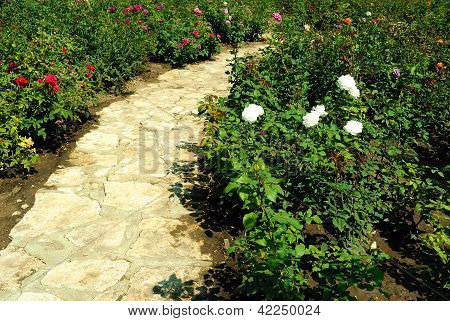 Blooming rosebushes and a paved path in a rose garden