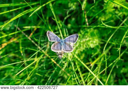 Silver Studded Blue Butterfly, Plebejus Argus, With Wings Open In Grassland At West Pentire, Cornwal