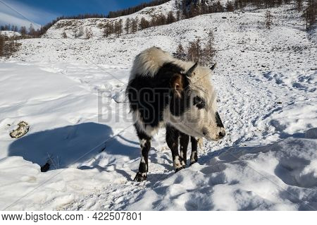 View Of Calf In Altay Mountains, Siberia, Russia