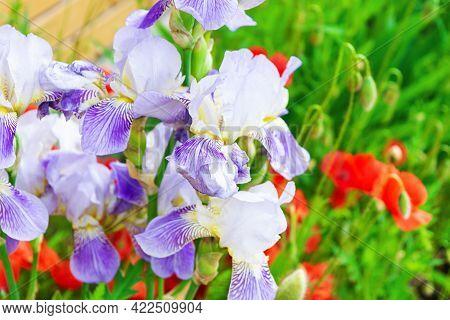 Iris Flower And Papaver In Garden. Spring Nature Background
