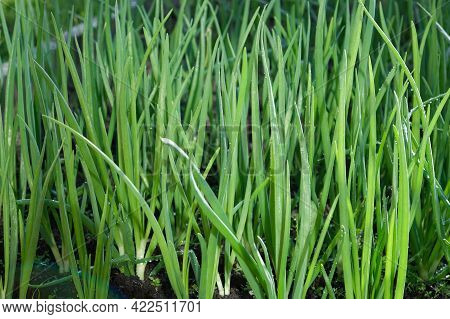 Young Green Onion Plants In The Field. Green Onion Are Grown In Plantation. Green Onions, Bunches Ti
