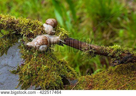 Garden Snail - Helix Pomatia Climbs A Branch. The Photo Has A Nice Bokeh.
