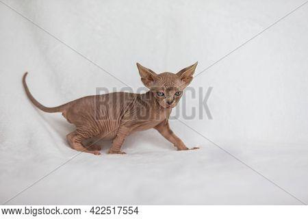 Little Kitten Sphynx - Felis Catus - Hairless Cat. Kitten On A White Background.