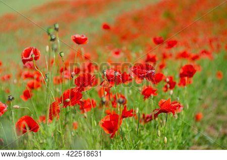 Beautiful Field Of Red Poppies. Flowers Red Poppies Bloom In Wild Meadow. Opium Poppy. Natural Drugs