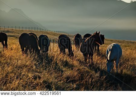 Russia. South Of Western Siberia, Mountain Altai. Domestic Horses Graze Peacefully In The Autumn Pas