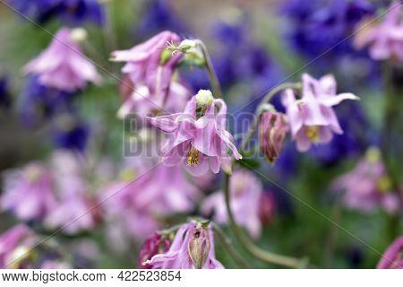 The Plant Aquilegia (latin Aquilegia), Or Catchment, Or Orlik, Belongs To The Genus Of Herbaceous Pe