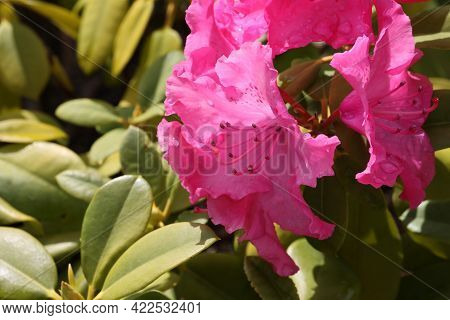 Rhododendron Blooming Flowers In The Spring Garden