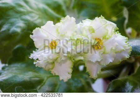 Blooming Home Decorative Flowers African Violet Saintpaulia Irish Laughter, Llg-herringshaw Selectio