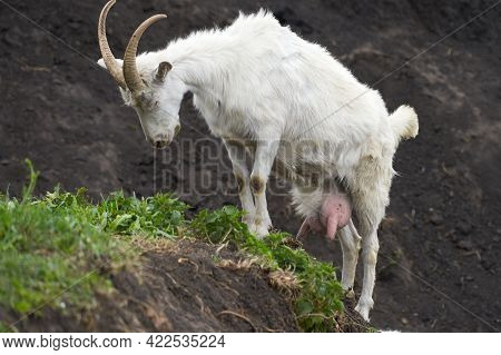 A Full-length Milky White Goat In A Ravine. Selective Focus.