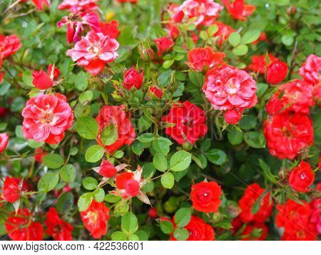 Red Roses Bushes. Many Small Red Roses On Bushes.
