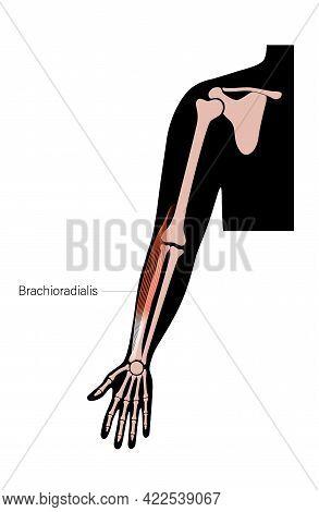 Human Brachioradialis And Muscular System. Humerus, Radius, Ulna And Scapula Bone Anatomical Poster.