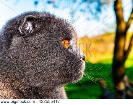Head Profile Of A Gray Fold Cat With Orange Eyes. Scottish Fold Cat. British Breed Of Kittens. Felin