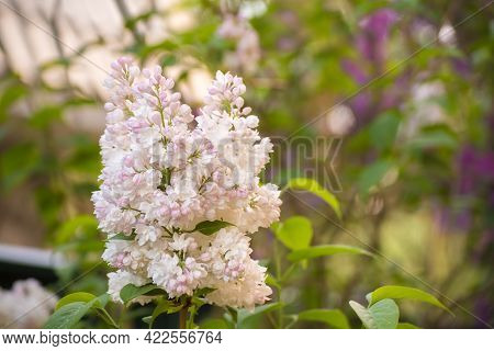 White-pink Inflorescence Of Lilac On A Background With Green Leaves. There Is Copy Space. Beauty In