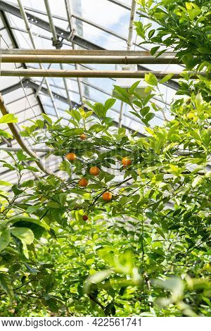 Tangerine Tree With Ripe Fruits Growing Inside Glasshouse. Cultivation Of Tropical Plants In Greenho