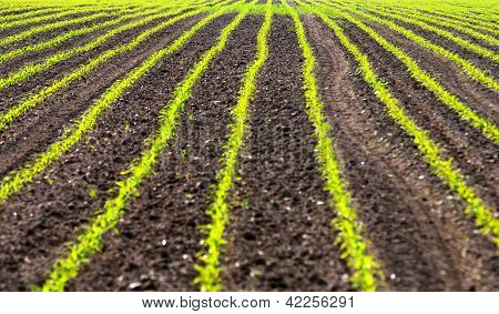 Field with rows of maiz - zea mays