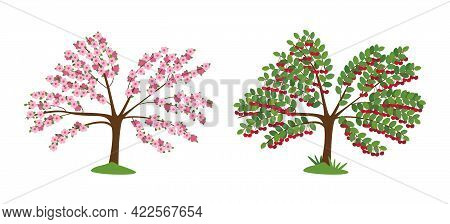 Cherry Tree In Blossom And With Ripe Berries Isolated On White. The Tree Is Strewn With Pink Flowers