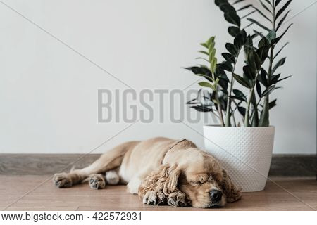 American Cocker Spaniel Sleeping On The Floor Near A Flower