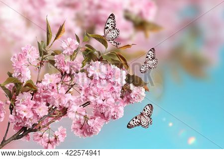 Beautiful Sakura Tree Branch With Delicate Pink Flowers And Flying Butterflies Outdoors