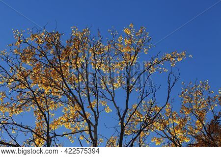 Silhouette Of Aspen (populus Tremula) Branches With Yellow Sunlit Leaves And Blue Clear Sky At Autum