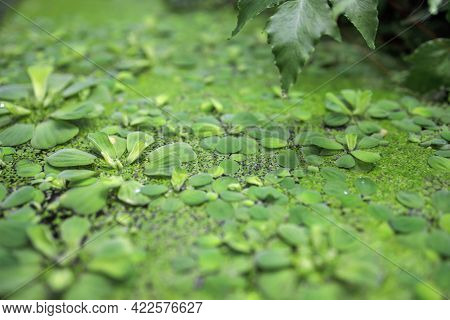Pistia Is A Genus Of Aquatic Plant In The Arum Family, Araceae. It Is The Sole Genus In The Tribe Pi