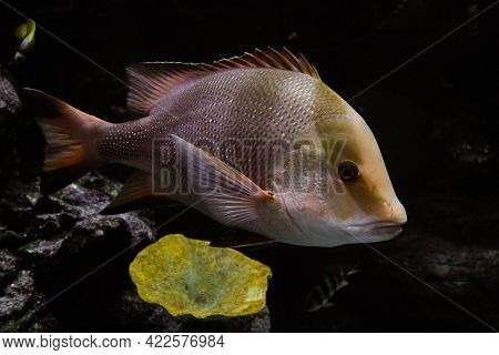 Snapper Fish Swims On The Bottom Of The Sea