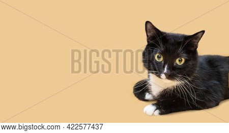 Advertising Banner With Beautiful Black And White Young Cat Lying And Looking At Camera On Beige Bac