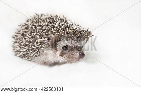 Cute African Pygmy Hedgehog On A Light White Background. African Pygmy Hedgehog Looks Straight Into