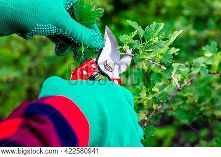 Garden Pruner In The Hands Of A Gardener. Pruning Bushes With Pruning Shears. Work In The Garden. Ga
