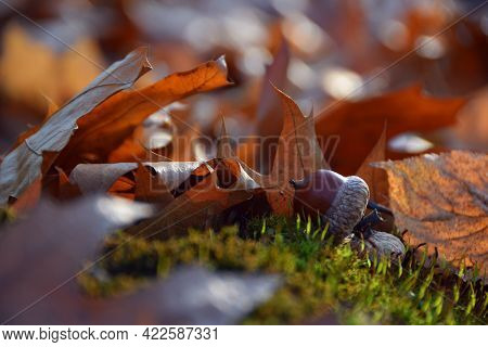 The Acorns Lies On The Green Moss Of The Autumn Forest. Early Spring In The Forest. A Group Of Acorn