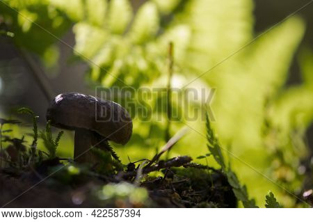 Mushroom In The Autumn Forest In The Leaves. Mushroom On Moss, Growing In Autumn Forest. Fall Harves