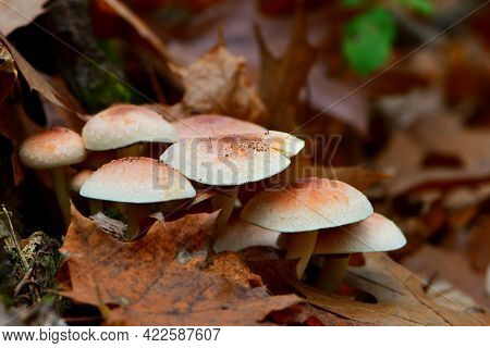 Large Light Brown Mushrooms. Many Mushrooms In Autumn Leaves. Mushroom In Autumn In Forest In Sunlig