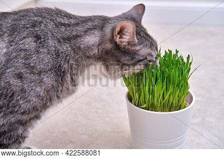 Cat Eats Green Grass In A Pot, Plants Grown At Home