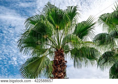 Palm Tree With Fan Leaves On The Background Of A White And Blue Cloudy Sky - Bottom View. Exotic Tro