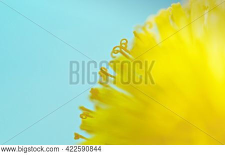 Yellow Dandelion Close-up On Blue Background, Pistils And Pollen, Floral Background Copy Space, Macr