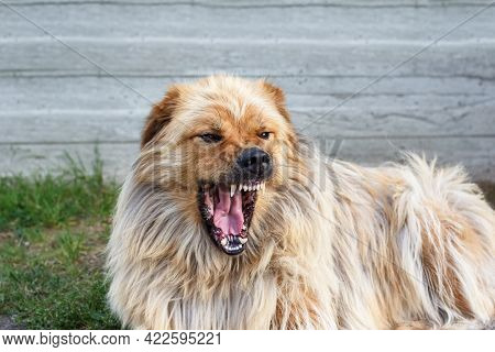 Dog Grownling. Angry Dog Showing Teeth, Ready To Bite. Dog Before Attacking.