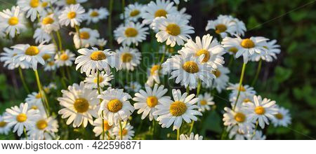 Camomile In The Nature. Field Of Camomiles At Sunny Day At Nature. Camomile Daisy Flowers In Summer