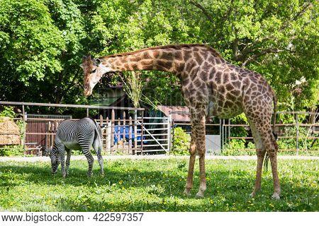 South African Giraffe (lat. Giraffa Camelopardalis Giraffa) And Zebra Grevy (lat. Equus Grevyi) Beau
